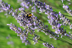 Lavender with bumblebee Royalty Free Stock Photos