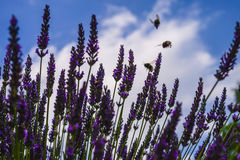 Lavender and bumblebees Stock Image