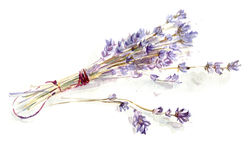 Lavender bunch. A watercolour sketch of lavender bunch Royalty Free Stock Images