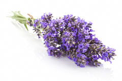 Lavender bundle isolated. Royalty Free Stock Image