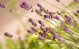 Lavender bush Royalty Free Stock Photos