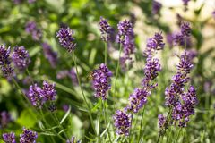 Lavender bush Royalty Free Stock Images