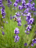 Lavender bush with a bee Stock Photography