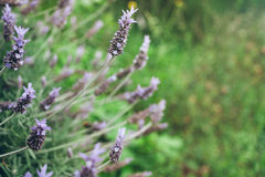 Lavender bush on blurred background Royalty Free Stock Photography