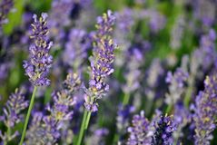 Lavender bush. Close up purple lavender flower bush garden royalty free stock photos
