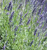 Lavender bush close up, shallow depth of field Royalty Free Stock Photography