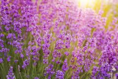 Lavender bush closeup. Stock Images