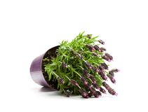 Lavender bush in flower pot isolated on white royalty free stock photos