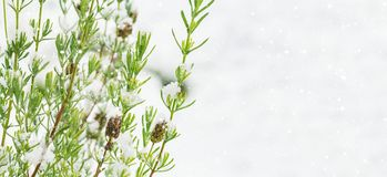 Lavender bush in front of snow, wintry background. With copy space Stock Photos