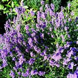 Lavender. Bush on full bloom Stock Photography