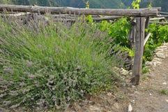 Lavender bush in full bloom Stock Photo