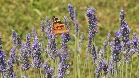 Lavender Bush stock video
