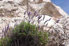 The lavender bush Lavandula grows on stones in the French city of Nice. Tender beautiful plant in an unusual place. Provence stock images