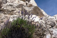 The lavender bush Lavandula grows on stones in the French city of Nice. Tender beautiful plant in an unusual place. Provence stock image