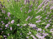Bees and lavender 4 stock photo