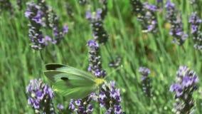 Lavender Bush Pan stock footage