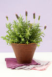 Lavender bush in pot Royalty Free Stock Photography