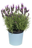 Lavender bush in pot  isolated Stock Images