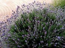 Lavender bush in public park stock image