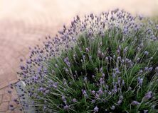 Lavender bush in public park stock images