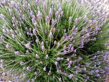 Lavender bush in public park royalty free stock photo