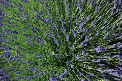 Lavender bush Royalty Free Stock Photo