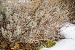 Lavender bush in snow. Preparing for spring royalty free stock photo