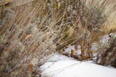 Lavender bush in snow. Preparing for spring stock photo