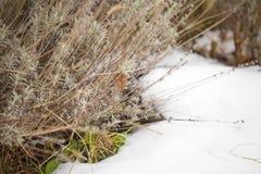 Lavender bush in snow. Preparing for spring stock image