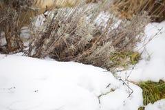 Lavender bush in snow. Preparing for spring royalty free stock photos