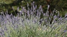 Lavender bush view Royalty Free Stock Photos
