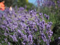 Lavender bush visited by honey bees stock images