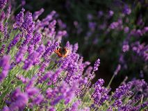 Lavender bushes and butterfly closeup on sunset. Sunset gleam over purple flowers of lavender. royalty free stock photos