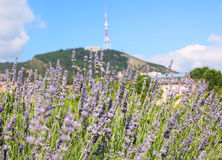 Lavender bushes in the center of Tbilisi Stock Photography