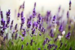 Lavender bushes close up on sunset. Stock Photo