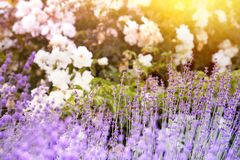 Lavender bushes closeup. Royalty Free Stock Photos