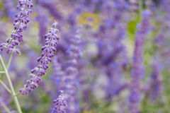 Lavender bushes closeup on sunset. Blooming lavender.Sunset gleam over purple flowers of lavender Stock Photo