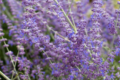 Lavender bushes closeup on sunset. Blooming lavender.Sunset gleam over purple flowers of lavender Royalty Free Stock Photo