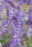 Lavender bushes closeup on sunset. Blooming lavender.Sunset gleam over purple flowers of lavender Stock Image