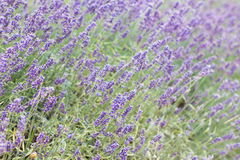 Lavender bushes closeup on sunset. Blooming lavender.Sunset gleam over purple flowers of lavender Stock Photos