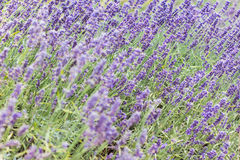 Lavender bushes closeup on sunset. Blooming lavender.Sunset gleam over purple flowers of lavender Stock Photography