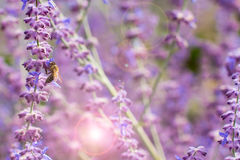 Lavender bushes closeup on sunset. Blooming lavender.Sunset gleam over purple flowers of lavender Royalty Free Stock Photography