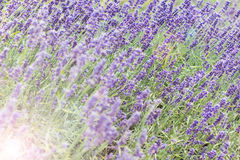 Lavender bushes closeup on sunset. Blooming lavender. Sunset gleam over purple flowers of lavender stock photography