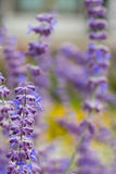 Lavender bushes closeup on sunset. Blooming lavender.Sunset gleam over purple flowers of lavender Stock Images