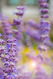 Lavender bushes closeup on sunset. Blooming lavender.Sunset gleam over purple flowers of lavender. Lavender bushes closeup on sunset. Lavender field closeup Stock Images