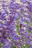 Lavender bushes closeup on sunset. Blooming lavender.Sunset gleam over purple flowers of lavender Royalty Free Stock Image