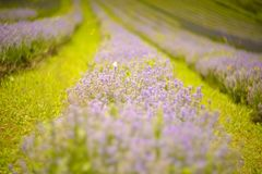 Lavender bushes closeup on sunset. Royalty Free Stock Photography