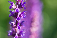 Lavender bushes closeup on sunset. Royalty Free Stock Image