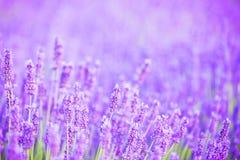 Lavender bushes closeup on sunset. Stock Photos