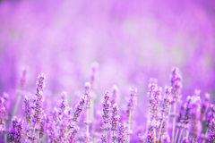 Lavender bushes closeup on sunset. Sunset gleam over purple flowers of lavender. Bushes on the center of picture and sun light on the left. Provence region of Stock Photography